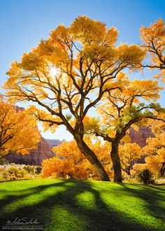 Cottonwood Trees - Moab, Utah...everything i love—trees, autumn, green, color contrast.