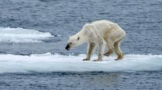 A picture taken in Svalbard clearly shows the phenomenon of arctic ice melting that is threatening polar bears survival.  The picture by the wildlife photographer, Kerstin Langenberger,  shows an undernourished and exhausted animal, which unsteadily wanders on a thin layer of ice. The image, with its great expressive power, reminds us our responsibilities by documenting climate change consequences. More at the link;