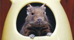 Chewing, stashing and marking are just a few of the normal degu behaviors you can expect to see from this fascinating pet. Best Small Pets, Small Pet Supplies, Degu, Pet Stuff, My Princess, Habitats, Behavior, Babies, Cute