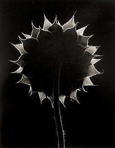 Sunflower Face, Winthrop, Massachusetts 1965 gelatin silver print