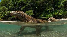 Komodo, la isla donde hay dragones de verdad  Por ahora, la especie está a salvo de la extinción.Foto:WaterFrame Alamy
