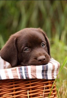 Cute Labrador Puppies, Rottweiler Puppies, Lab Puppies, Cute Puppies, Puppies Tips, Baby Labrador, Dalmatian Puppies, Golden Labrador, Fluffy Animals