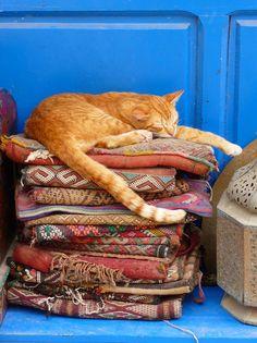 【画像】モロッコと猫:ハムスター速報