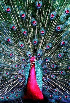 blue-pink magnificent peacock. divine design of nature.. дизайн божественной природы..