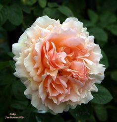Rose 'Polka' Rosa - Our most vigorous climber combines old rose fashion with repeat flowering, disease tolerance and winter hardiness. Endowed with a fragrance, 'Polka' will charm its way into your garden for years to come. Gather a bouquet and fill any room with a lovely fragrance. The strong apricot color will turn more peachy during warm weather.