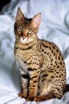 I want a savannah cat!