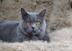 Joep van I found my home Korat, Silver Cat, Russian Blue, All About Cats, British Shorthair, Grey Cats, Beautiful Soul, Cool Cats, Cats And Kittens