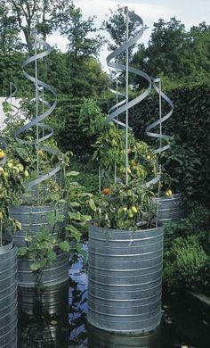 very cool tomato planters, made from old olive oil drums.