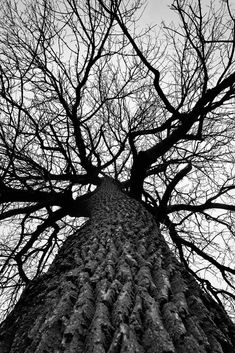 Black and white photograph looking up into the bare branches of a huge cottonwood tree spreading out across a white winter sky. Black And White Tree, Black And White Prints, Black And White Landscape, Black And White Pictures, Tree Photography, Artistic Photography, Wedding Photography, Best Landscape Photography, Indoor Photography