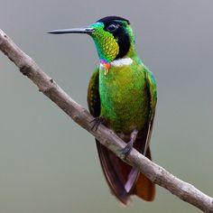 Hooded Visorbearer (Augastes lumachella) by Almir Almeida | Wiki Aves - The Encyclopedia of Brazilian Birds