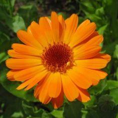 10 καλοκαιρινά λουλούδια που κλέβουν την παράσταση! Flower Tat, Flower Sleeve, Libra, October Birth Flowers, Calendula, Iphone Photography, Street Art, Ink, Landscape
