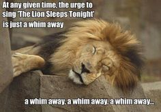 LOL... I can't tell you how many times this song has come to mind over the years.  Sing it with my grandchildren these days...  http://www.youtube.com/watch?v=mwy5uqemp6c  Did you know it was written in 1939 by Solomon Linda a South African Zulu Musician.  Here is a link to the original song: http://www.youtube.com/watch?v=mrrQT4WkbNE