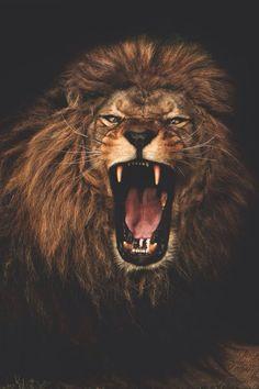 King of Kings | Lion Löwe León Cody Camacho