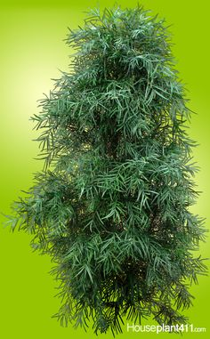 How to grow Podocarpus Plant -Yew Plant Sensitive Plant, Planting For Kids, Acid Loving Plants, Large Flower Pots, Indoor Trees, Inside Plants, Poisonous Plants, House Plant Care, House Plants Decor