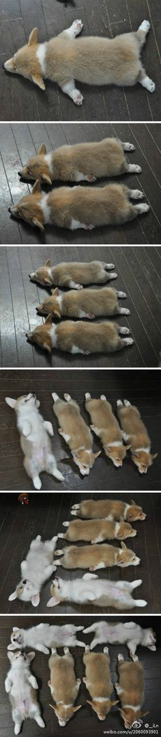 one corgi, two corgis, three corgis, four... five corgis, six corgis... sorry there aren't any more...