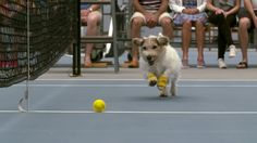 """During a friendly game at the ASB classic in Auckland, New Zealand, tennis pros Venus Williams and Svetlana Kuznetsova relied upon some of the cutest """"ball boys"""" the sport had ever seen to fetch an..."""