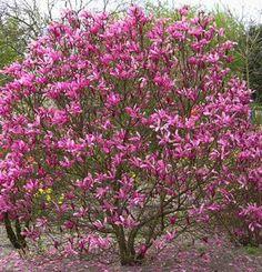 CÉDRE A MAGNÓLIE | Magnolia susan | Obchod rastlín - Brest.sk
