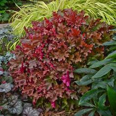 Wow, what a stand out plant for your full sun to part shade garden! Heuchera Dolce® Cinnamon Curls™ has the most stunning coloration's all s...