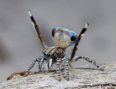 Meet This Colorful Australian Peacock Spider