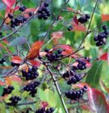 """I would by this for this pun alone: """"Although Aronia is native to the eastern U.S, the best varieties were bred in Europe. Plants are self-fertile and can be spaced 4-6' apart, or 3' for a hedge. It's not an """"aronia's conclusion"""" that this, Goumi and Sea Buckthorn are the most productive fruiting bushes available."""""""