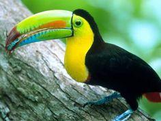 Image result for keel billed toucan
