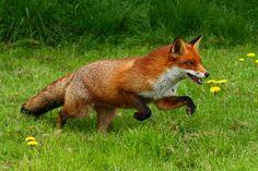 Fox   Flickr - Photo Sharing!
