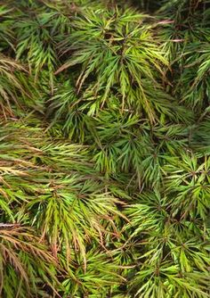"""Japanese Maple 'Shu Shidare' . Name means """"orange weeping"""" because of it's red orange color in spring and fall"""