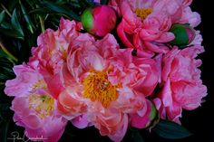 Pink Peonies, a real statement piece and conversation starter for your home or business with this image on Canvas or Framed. Landscaping Images, Beautiful Images, Peonies, Seasons, Fine Art, Landscape, Rose, Prints, Flowers