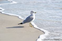 Encounter sea life on Venice Beach, Florida Shorebirds, Creature Feature, Am Meer, Sea Birds, Beach Scenes, Gull, Beach Art, Pictures To Paint, Beautiful Birds