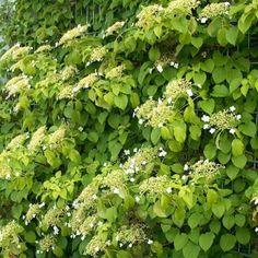 Hydrangea anomala subsp. petiolaris Hydrangea Petiolaris, Climbers, Herbs, Gardens, Climbing Hydrangea, Herb, Medicinal Plants