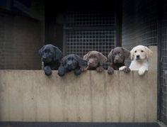 Looking to buy a gundog puppy?  © John Wellings