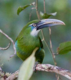 Blue-banded Toucanet Amazing World beautiful amazing