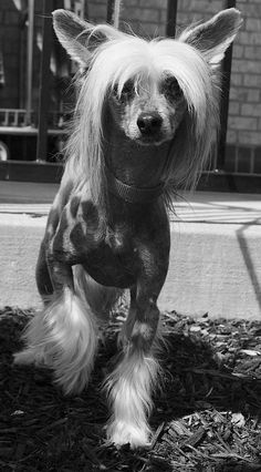 Leo-Fostered in KC is an adoptable Chinese Crested Dog searching for a forever family near Bridgeton, MO. Use Petfinder to find adoptable pets in your area.