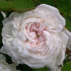Moss Rose: Rosa 'Blanche Moreau' (France, 1880)