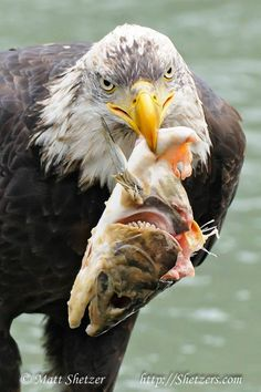 Matt ShetzerWild Bird  ·    Yummy! Thanks for showing me your dinner.  Feel Free to Share  More Eagles: http://www.shetzers.com/photo-galleries-and-images/bald-eagle-pictures/