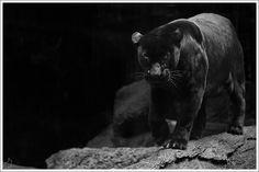 11 Best Black Jaguar Animal Images Wild Animals Black Panther