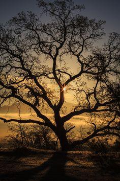 ~~Tales of an Oak ~ golden silhouette of a majestic tree by JT~~