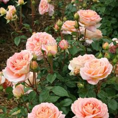 Abraham Darby (Rose):- Large shrub, strong and disease resistant.