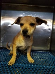 Animal ID35484332  SpeciesDog  BreedChihuahua, Short Coat/Mix  Age7 months 13 days  GenderMale  SizeSmall  ColorTan  SiteDepartment of Animal Services, City of El Paso  LocationKennel A  Intake Date5/28/2017