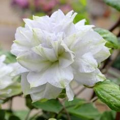 Buy Clematis Diamond Ball Perennials Online. Garden Crossings Online Garden Center offers a large selection of Clematis Plants. Shop our Online Perennial catalog today.