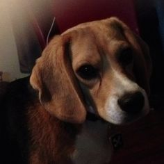 My beagle.... My Steve...