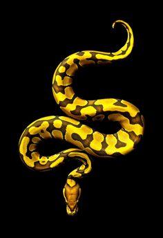 Pastel Yellow Belly Ball Python