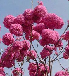 Ipê roxo Tabebuia avellanedae