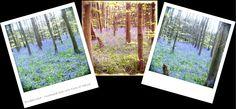 Bluebell woods...