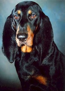 Black and Tan Coonhound... I keep looking at their rescue group.  Now those are some ears....