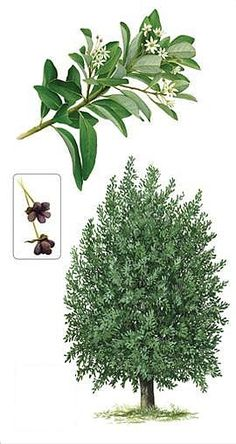 Canelo Más Botanical Illustration, Botanical Prints, My Flower, Flowers, Vintage Cards, Chile, Tatoos, Paper Crafts, Leaves