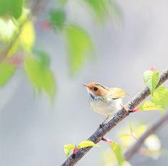#729 棕面春忖 | 棕面鶯.攝於台灣 台中 大雪山 Fulvous-faced Flycatcher Warbler… | Flickr