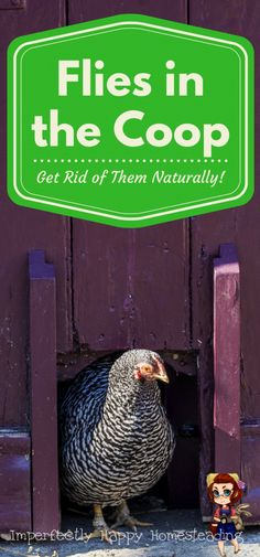 Flies in the coop is something that everyone with chickens deals with. What most of us want is a natural way to keep flies in the coop to a minimum.