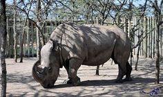 """""""سودان"""" آخر وحيد قرن أبيض على وجه الأرض مهدد بالانقراض: يعيش في إحدى المحميات الطبيعية، على بعد مئات الأميال من العاصمة الكينية نيروبي،…"""