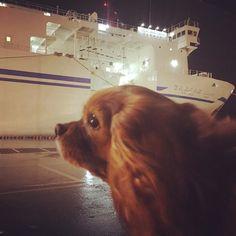ポテト産まれて初めてのフェリー旅🛳ウィズペットのお部屋はとっても最高でした♡ドッグランはドッグウォーク!!笑。さぁ〜東京での新生活が始まるぅ〜💪 #愛犬 #petdogs #キャバリア #cavalier #ルビー #potato #大事な家族 #preciousfamily #初めて #thefirsttime #tokyo #ferry #dogrun #togetherforever #うきうき #わんちゃん同伴 #withpet #happy #犬バカ #犬バカ部